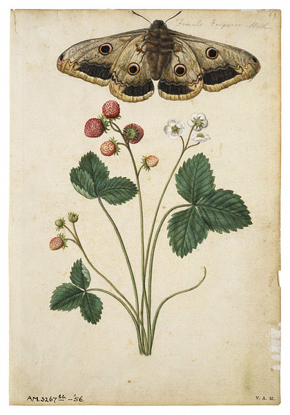 Strawberry and Emperor Moth  Le Moyne de Jacques Morgues (1568-1572) from the V&A